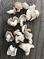 Pleurotus sapidus Sacc 861145.jpg