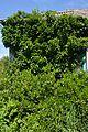 Plodove Novokahovka's Arboretum 43 (YDS 1161).jpg