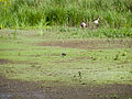 Plover with background geese (14193921820).jpg