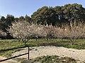 Plum trees in Higashi, Fukuoka 20190212-4.jpg