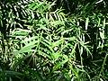 Podocarpus gracilior1.jpg