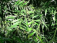 240px podocarpus gracilior1