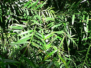 Description de l'image Podocarpus gracilior1.jpg.