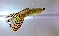 Poecilia reticulata (male).JPG