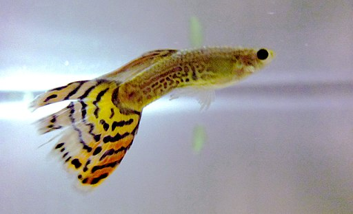 Poecilia reticulata (male)