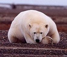 Один из символов Арктики, конечно, нанук. белый медведь.