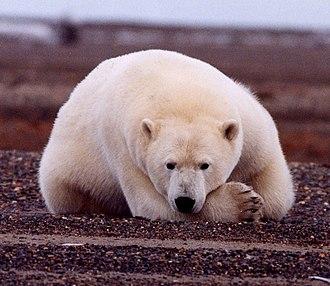 Governorship of Sarah Palin - A polar bear