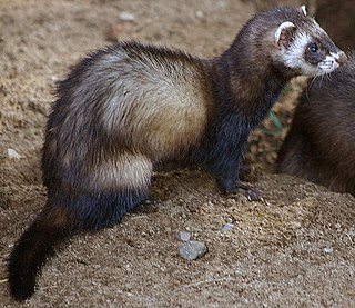 Polecat index of animals with the same common name