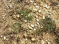 Polycnemum majus sl14.jpg