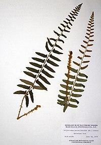 Polystichum acrostichoides BW-1979-0618-0535.jpg