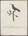 Polytmus gramineus - 1802 - Print - Iconographia Zoologica - Special Collections University of Amsterdam - UBA01 IZ19100051.tif