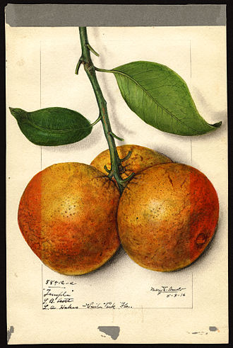 Mary Daisy Arnold - Temple variety of orange (Citrus sinensis), with  specimen originating in Winter Park, Florida; watercolor by Mary Daisy Arnold, 1915.