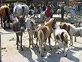 Ponymarkt-bemmel.jpg
