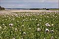 Poppy field - panoramio (5).jpg