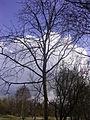 Populus lasiocarpa R0015171.JPG
