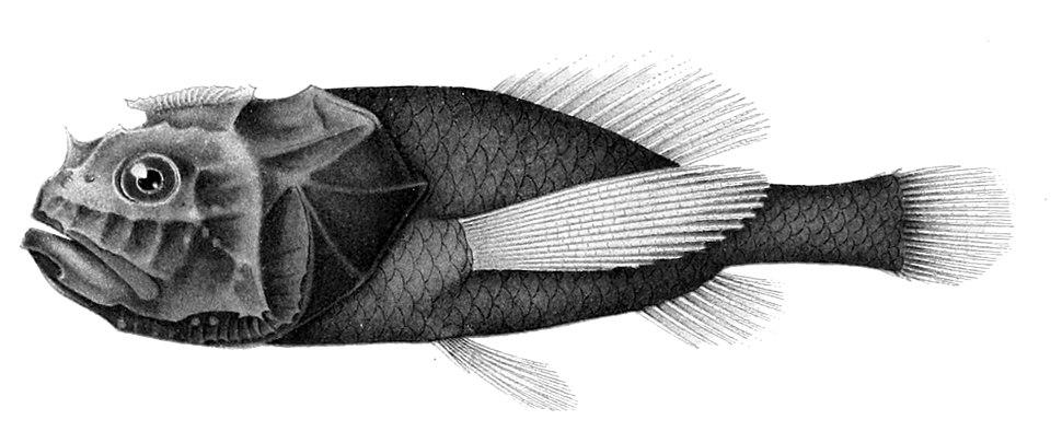 Poromitra unicornis