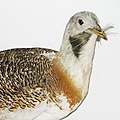 Portrait of great bustard by Takkk.jpg