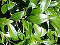 Pouteria myrsinifolia Coffs.jpg