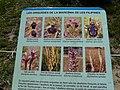 Prat d'orquídies de la maresma de les Filipines P1100473.jpg