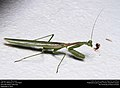 Praying mantis (Mantidae) (29470351933).jpg