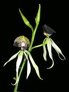 Prosthechea cochleata Orchi 17.jpg
