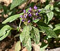 Prunella vulgaris 20190613a.jpg