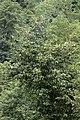 Prunus laurocerasus - Taflan, Giresun 2017-07-05 02-1.jpg
