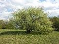 Prunus mahaleb sl25.jpg