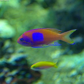 alt=Description de l'image Pseudanthias_pleurotaenia_noflash.jpg.
