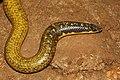 Pseudoplectururus canaricus.jpg