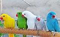 Psittacula krameri -colour mutations -pets-8a.jpg