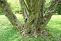 Pteroceltis tatarinowii - Morris Arboretum - DSC00342.JPG