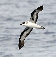 A black and white petrel flying over a body of water