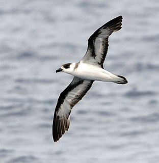 Black-capped petrel species of bird