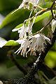 Pterosyrax corymbosus fleurs3.jpg