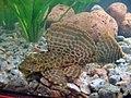 Pterygoplichthys gibbiceps 2.jpg