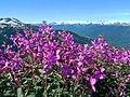 Purple alpine flowers (6123709167).jpg