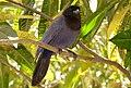 Purplish Jay (Cyanocorax cyanomelas) (28374089735).jpg