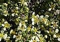 Purshia glandulosa 1.jpg