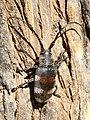Pycnopsis brachyptera (female).jpg