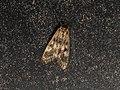 Pyraloidea sp. (39845587852).jpg
