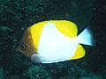 Pyramid Butterflyfish, Bunaken Island.jpg