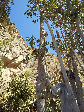 Khat - Qat tree, Yemen