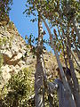 Qat tree,yemen.jpg