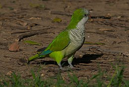 Quaker Parrot (Myiopsitta monachus) on ground.jpg