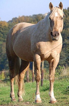 Image illustrative de l'article Quarter horse