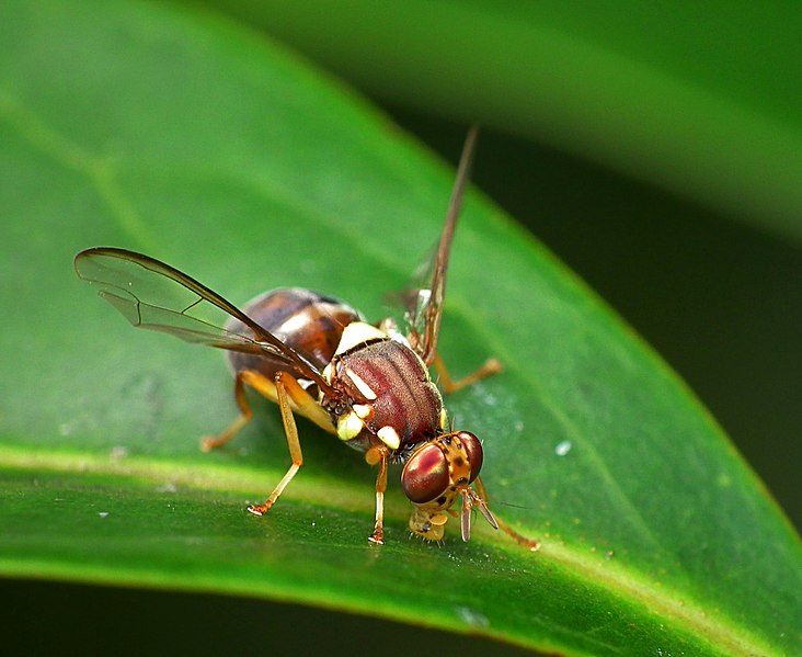 File:Queensland Fruit Fly - Bactrocera tryoni.jpg