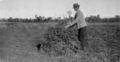 Queensland State Archives 4360 Various phases of peanut industry December 1927.png