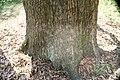 Quercus acutissima 24zz.jpg