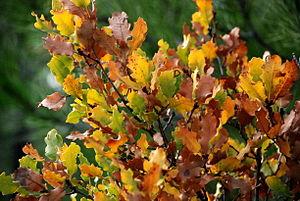 Quercus infectoria - Image: Quercus boissieri Izmir